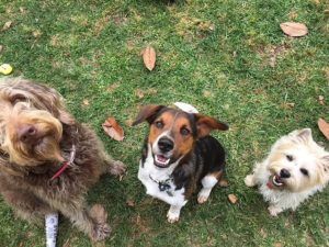 3 dogs behaving after aggression training